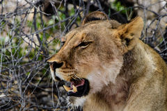 Головная съемка львицы Стоковое Изображение