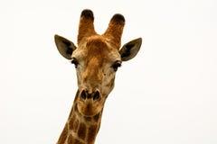 Головная съемка Giraffe Стоковое Изображение
