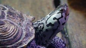 головная черепаха Стоковые Изображения