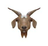 Головное животное hircus отечественной козы или Capra изолированное на белом b Стоковые Изображения RF
