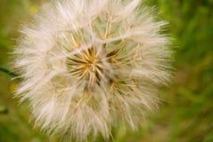 головное семя Стоковая Фотография RF