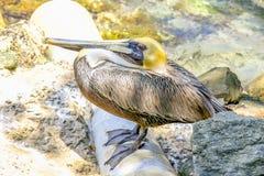 головной желтый цвет пеликана Стоковое Изображение RF