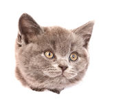 Головной кот в бумажной отверстии сорванном стороной смотря прочь Изолировано на белизне Стоковая Фотография RF