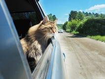 Головной кот из окна автомобиля в движении Стоковое Фото