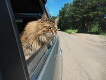 Головной кот из окна автомобиля в движении Стоковое Изображение RF