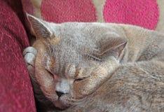 Головной отдыхать на коте лапки Стоковые Изображения RF