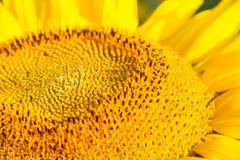 головной солнцецвет Стоковая Фотография