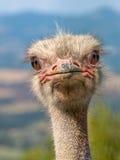 головной страус Стоковые Фотографии RF