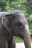 Головной слон Стоковые Изображения
