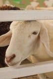Головные овцы на свете захода солнца загородки Стоковое Изображение RF