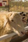Головные овцы на свете захода солнца загородки Стоковое Фото