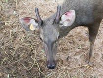 Головные олени Стоковые Фотографии RF