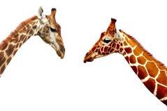 Головы жирафа изолированные на белой предпосылке Стоковые Изображения RF