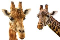Головы жирафа на белом конце-вверх предпосылки Стоковое Изображение