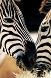 2 головы зебр конца-вверх Стоковое Изображение RF