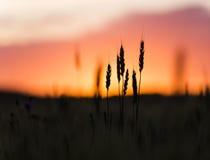 Головы зерна завода пшеницы silhouetted против захода солнца Стоковые Изображения RF