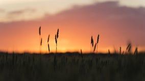 Головы зерна завода пшеницы silhouetted против захода солнца Стоковое Фото