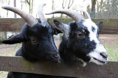 2 головы коз за приложением Стоковые Изображения RF