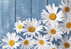 Головы маргариток цветков белых больших на голубой деревянной поверхности Стоковые Фото