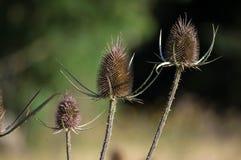 Головы семени ворсянки Стоковая Фотография
