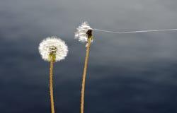 Головы семени общих одуванчиков Стоковая Фотография RF