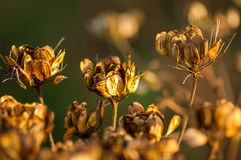 Головы семени петрушки коровы в осени Стоковое Изображение RF