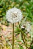 2 головы семени blowball одуванчика Стоковая Фотография RF