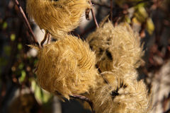 головы семени clematis Стоковая Фотография RF