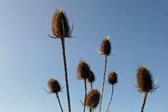 Головы семени fullonum Dipsacus ворсянки Стоковые Фото