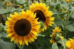 Головы солнцецвета Стоковое Фото