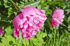 2 головы цветка пиона пар красивых в саде Стоковая Фотография RF