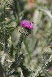 Головы цветка Thistle Стоковые Изображения
