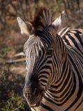 Голов-съемка зебры Стоковые Изображения RF