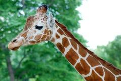 Голов-шея жирафа стоковая фотография