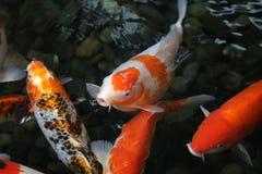 Голодная поверхность воды рыб koi Стоковые Фото