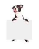 Голодная собака терьера Бостона держа пустой знак стоковые изображения rf