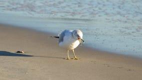Голодная чайка на пляже Стоковая Фотография RF