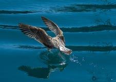 Голодная чайка 2 Стоковое Изображение RF