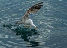 Голодная чайка Стоковое Изображение