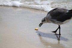 Голодная чайка Стоковое Фото