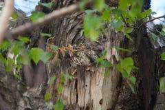 Голодные маленькие птицы в гнезде на дереве Стоковые Фото