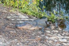 Голодные ожидания аллигатора для безумных туристов в Brazos гнут парк штата около Хьюстона, Техаса Стоковые Фотографии RF