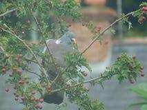 Голодный голубь Стоковое Фото