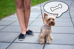 Голодный йоркширский терьер собаки и женские ноги Стоковые Изображения RF