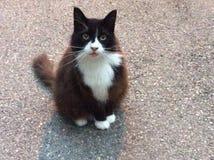 Голодный прирученный кот дома Miaowing Стоковая Фотография RF