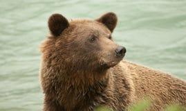 Крупный план медведя Аляски Брайна Стоковые Изображения RF