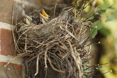 2 голодных робина младенца в их гнезде одном с ртом раскрывают Стоковая Фотография