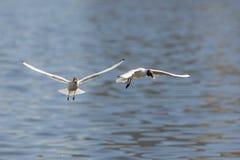 2 голодных чайки Стоковая Фотография RF