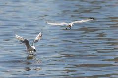 2 голодных чайки Стоковое фото RF