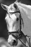Год сбора винограда белизны черноты портрета лошади Стоковая Фотография
